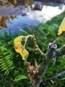 Kumbang Biru